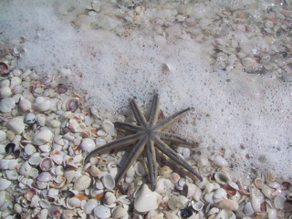 Sanibel starfish