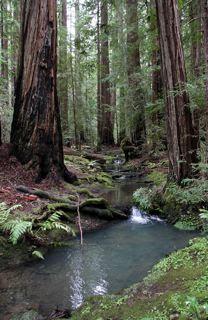 mendo redwoods